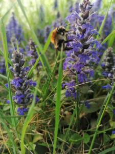 Heilkräuter und Insektenlieblinge - Kriechender Günsel
